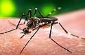 El mosco conocido como Zika, suele proliferar en criaderos húmedos donde prevalecen aguas negras o estancadas. Foto-Cortesía: breacorder.com