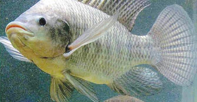 Pescados malignos, existen 9 tipos cuyo consumo debe evitarse