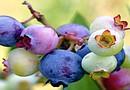 Los arándanos son considerados una súper fruta por los nutricionistas y médicos especialistas y es una fruta recomendada de la dieta para la salud, cuidado de piel y longevidad