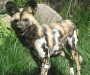 Los perros africanos atacaron al niño hasta matarlo.
