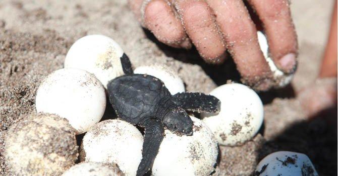 Tortuga Golfina sobrevive por voluntariado de jóvenes