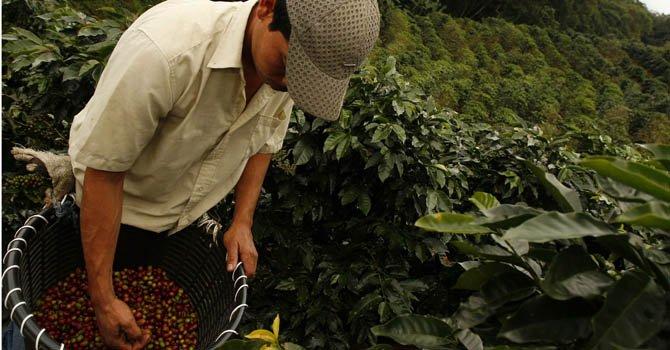 Un hombre recolectando los granos de café en una finca cafetalera de Costa Rica.