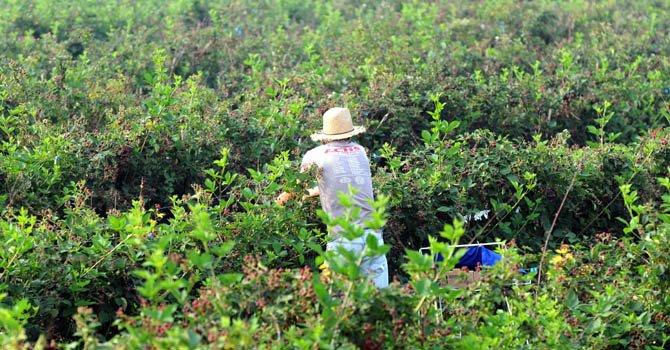 Un trabajador agrícola temporal recoge frutas en una granja estadounidense.