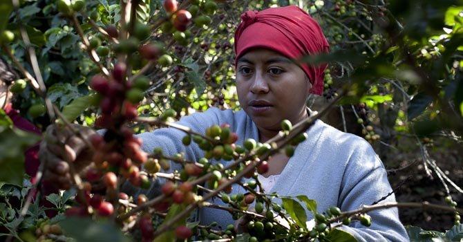 Pueblos cafeteros de Guatemala en peligro