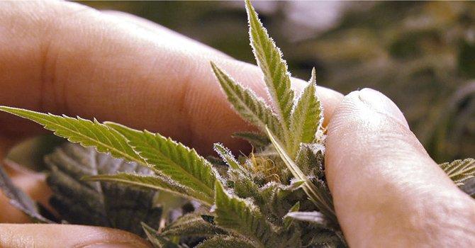 Illinois: Legalizará la marihuana para usos médicos