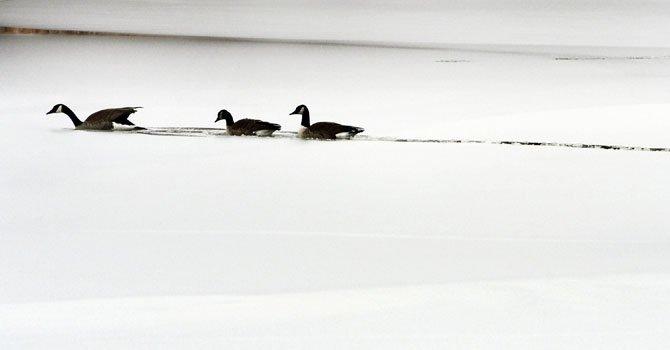 Tres gansos cruzan un lago congelado en Wichita, Kansas.