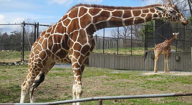 Las jirafas están entre los mamíferos favoritos de grandes y chicos en el Zoológico de Maryland en Baltimore.