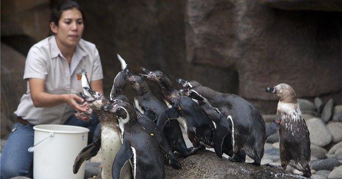 Guatemala: 12 pingüinos llegan desde Francia