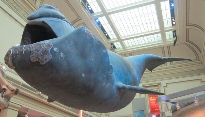 Una ballena del Atlántico norte en el Smithsonian