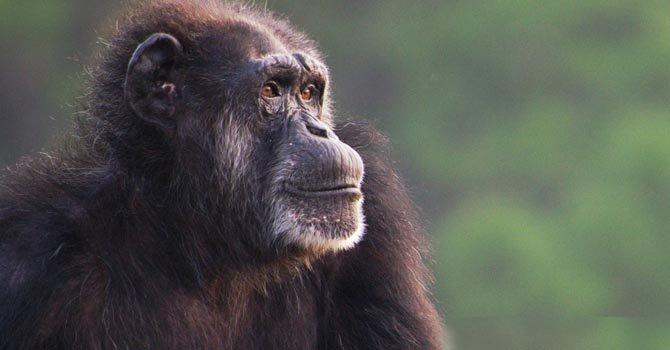 Chimpancés ya no tendrán que vivir en laboratorios