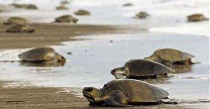 El Salvador muerte de tortugas marinas