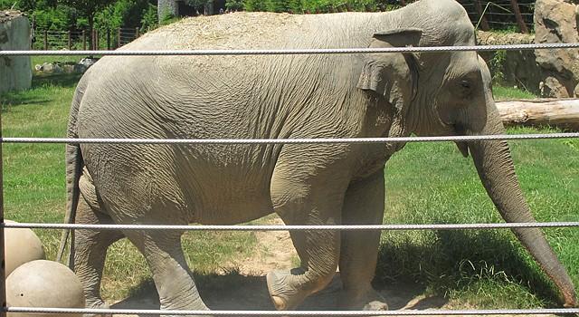 Los elefantes en el Zoológico Nacional de Washington, DC, están entre los animales favoritos de los visitantes de este maravilloso parque de la Institución Smithsonian.