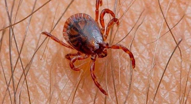 Alrededor de 300.000 estadounidenses son diagnosticados cada año con enfermedad de Lyme, trasmitida por la garrapata, según una estimación inicial basada en tres estudios de los CDC y distribuida en un comunicado oficial.