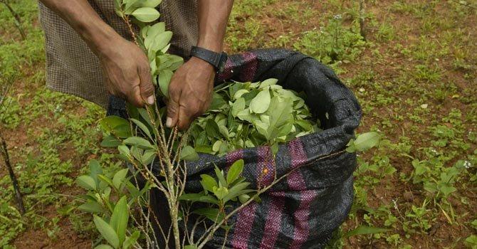 Perú: campesinos movilizados por la hoja de coca