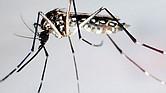AMENAZA. Los mosquitos no desarrollan las enfermedades, pero transmiten una serie de ellas.