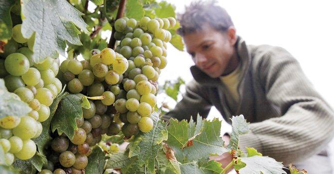 ¿Pueden las uvas ser cancerígenas?