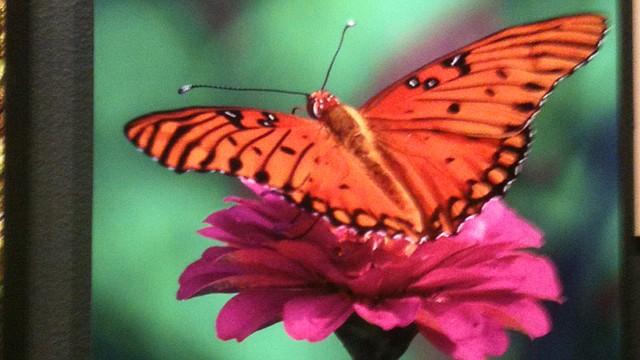 Esta fotografía de una mariposa forma parte de la colección de imágenes de la naturaleza que se exhiben en el segundo piso del Museo de Historia Natural de la Institución Smithsonian en Washington, DC.