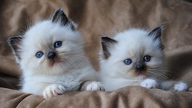 La mayoría de los gatos son de la raza Ragdoll, que se caracteriza por su pelaje mullido y su personalidade cálida