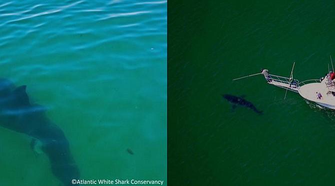 Divisan el primer gran tiburón del verano en la costa de Massachusetts