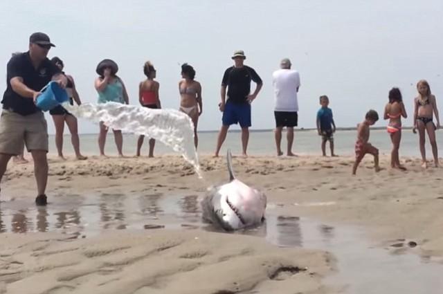Bañistas salvan un tiburón en Cape Cod (VIDEO)