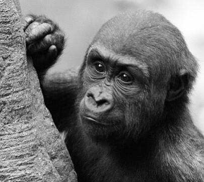 Gorila del Franklin Zoo celebrará su quinto cumpleaños