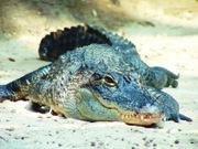Los cocodrilos del Virginia Living Museum están entre los animales más populares.