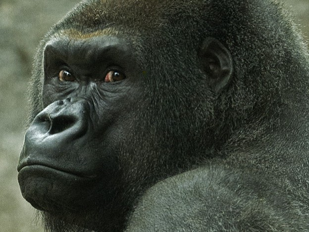 Celebración del cumpleaños del gorila Joe en el zoo