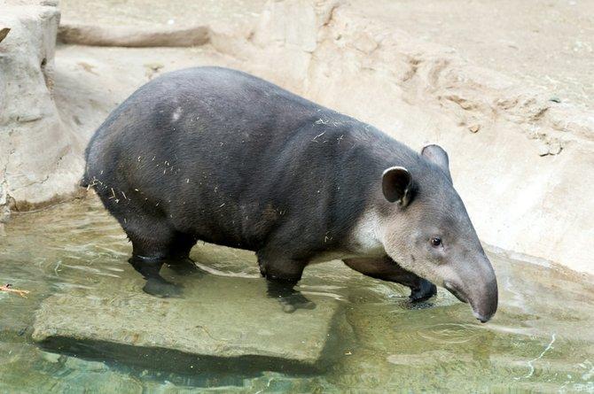 El Frankling Park Zoo es la casa de Milton y Abby, dos tapires centroamericanos