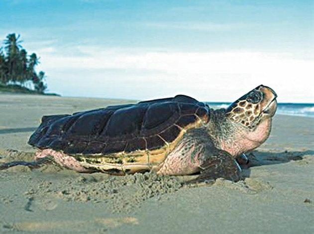 Hoteles, clave para preservación de tortuga marina