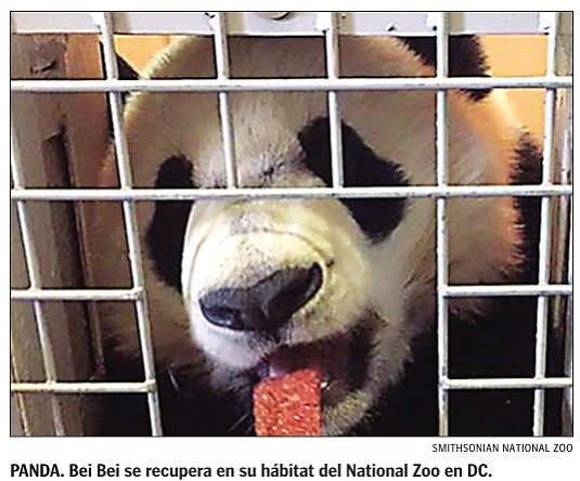 El panda Bei Bei ha vuelto al National Zoo