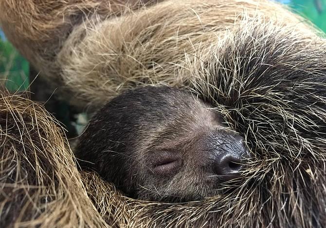 El bebé perezoso del Stone Zoo ya tiene nombre