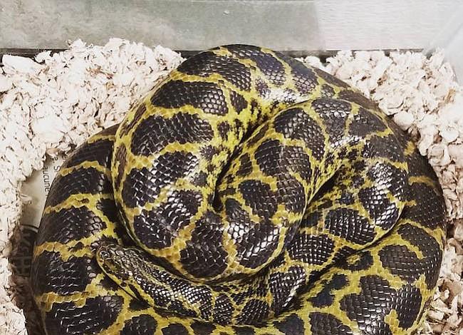 La serpiente qué se encontro en un baño de Virginia no era una herramienta de plomero