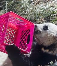 Bao Bao, un panda de tres años de edad, lame la miel de una caja durante sus últimos días en la exhibición de los Pandas gigantes del zoológico Smithsonian en Washington, D.C.