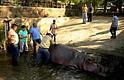 """Imagen del día 25 de febrero de 2016, cedida por la Secretaría de Cultura de la Presidencia de El Salvador que muestra al personal del zoológico nacional, atendiendo a un hipopótamo en San Salvador. Los usuarios de redes sociales en El Salvador se mostraron indignados por el ataque sufrido por el hipopótamo """"Gustavito"""", único ejemplar en el país, por desconocidos en un zoológico público y que lo mantiene en estado """"delicado"""" y con pronóstico """"reservado""""."""