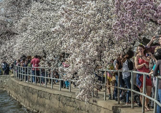 Cherry blossoms podrían ser seriamente dañados por la ola de frío