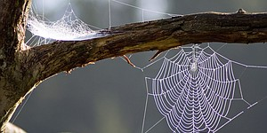 El veneno de la araña sería parte del tratamiento en estos casos