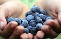 Los arándanos son ricos en nutrientes antioxidantes.