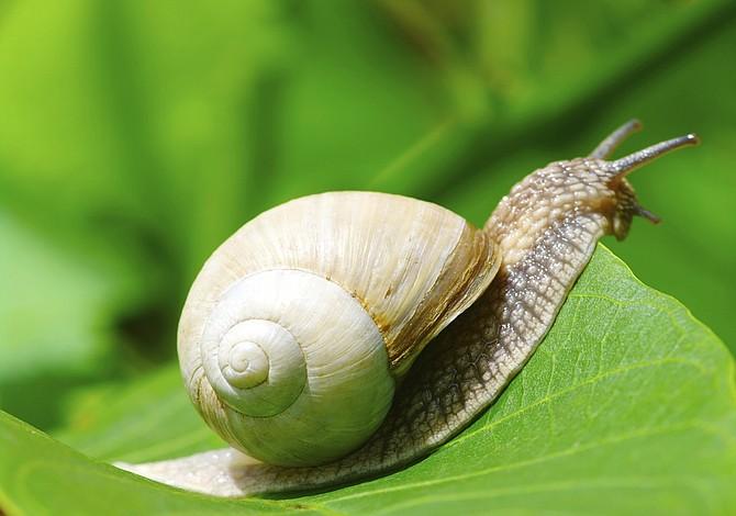 Un extraño parásito en babosas y caracoles que podría provocar la muerte