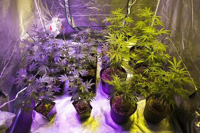 Una tienda de cultivo que contiene diferentes variedades de plantas de cannabis utilizadas para las manifestaciones en la Universidad de Oaksterdam in 2015.