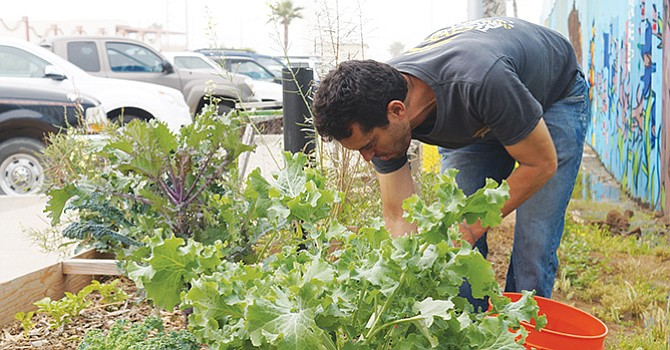 Daniel Wartman muestra una jícama recién cosechada en la hortaliza del jardín binacional. Foto de Manuel Ocaño.
