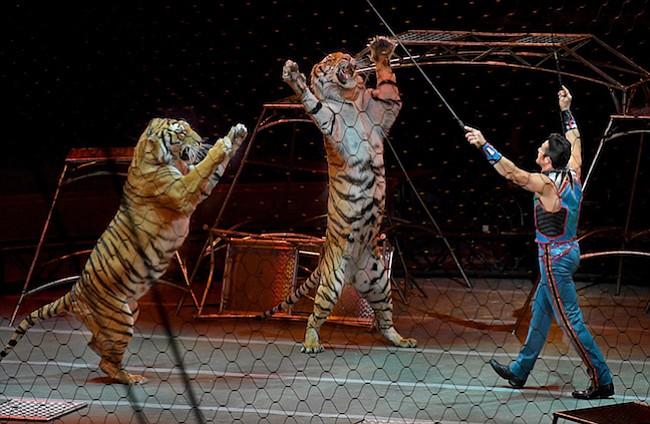 Los tigres del Circo Ringling finalmente tienen una casa de retiro