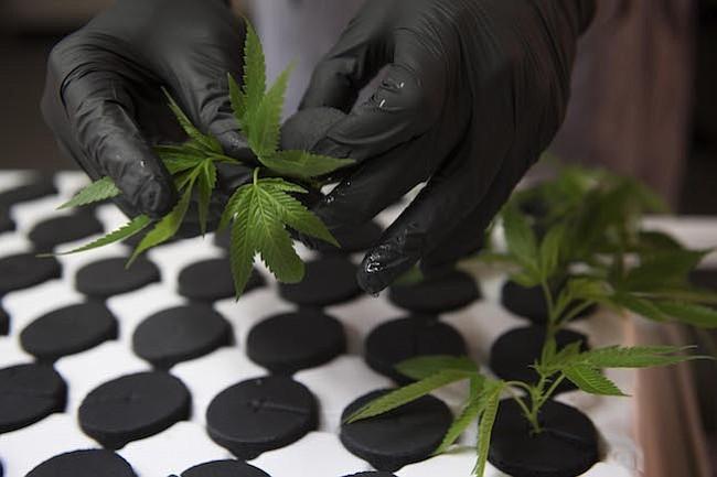 La administración Trump busca frenar el creciente negocio de la marihuana