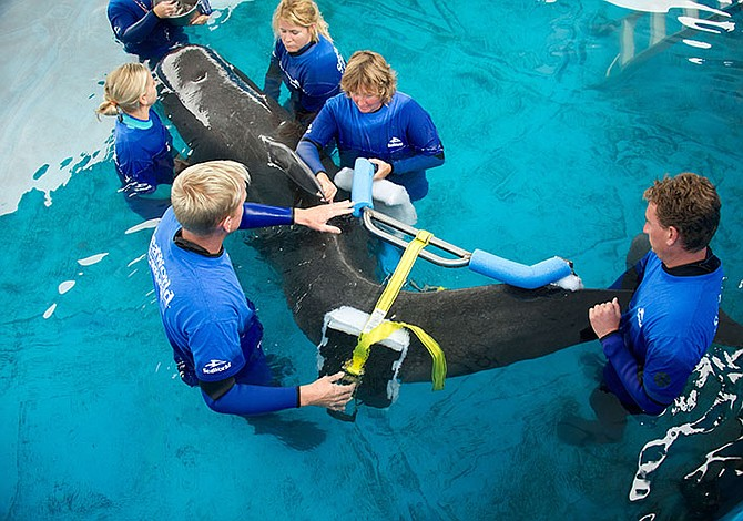 Pilot whale rehabilitated in Florida returns to ocean
