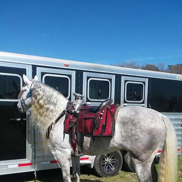 El Gallito es un caballo de raza Cuarto de Milla muy elegante. La audiencia disfruta mucho de su actuación.