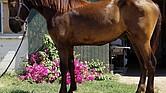 El Gato Americano es un caballo de raza Cuarto de Milla. Es inteligente, noble y sabe interactuar con el público. Además, está bien adentrado en la alta escuela.