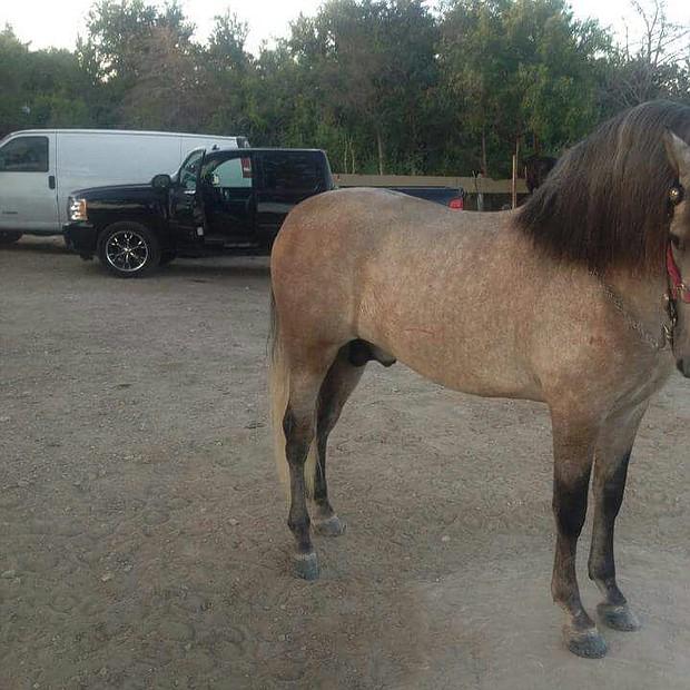 El Mil Amores: Un caballo español que llegó hace 8 meses al rancho y está muy bien entrenado.