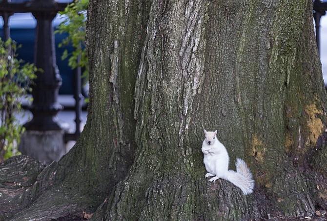 Buscan un nombre para la ardilla blanca del Public Garden