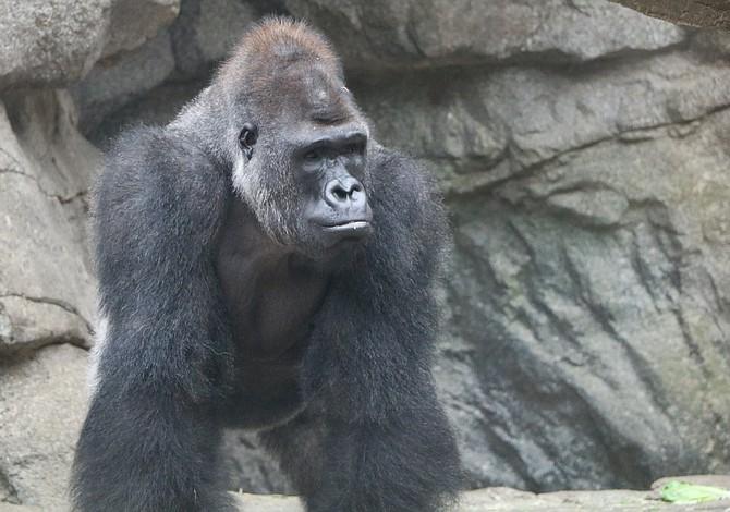 El Franklin Park Zoo se despide del gorila Okie