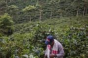 Un trabajador parado en los campos de árboles de café en Café Granja La Esperanza SA en el pueblo de Trujillo, departamento Valle del Cauca, Colombia, en febrero de 2017.  Cafe Granja La Esperanza se especializa en la producción de café especializado y exportaciones a los Estados Unidos, Europa, Asia y Australia.