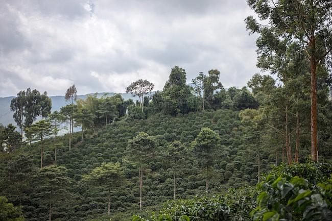 Campos de árboles de café se levantan en la  Café Granja La Esperanza SA en el pueblo de Trujillo, departamento de Valle del Cauca, Colombia.